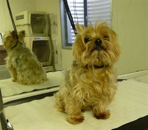 smokey the yorkie chrissy greene erin pevoteaux all pets grooming i am currently not grooming my