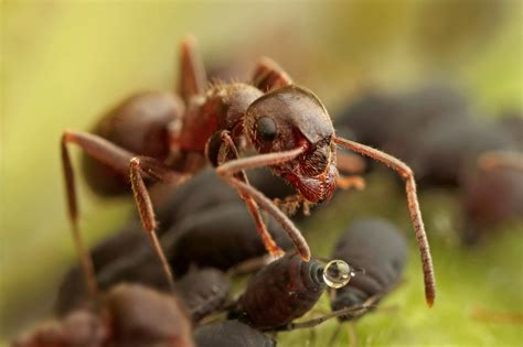 do ants eat aphids ants milk aphids dairy moos