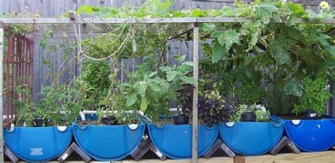 how to raise tilapia in your backyard backyard aquaponics and other ways to grow your own food