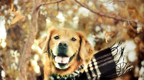 golden retriever wallpaper golden retriever wallpaper 2089 1920x1080 umad