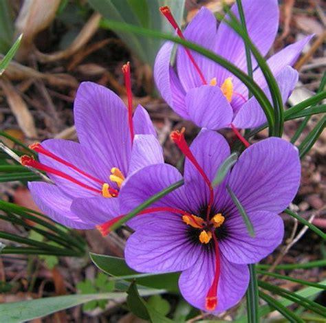 best 25 saffron crocus ideas on pinterest saffron spice