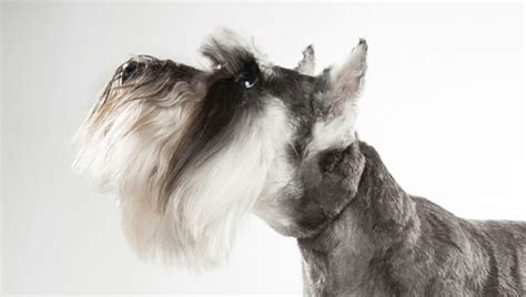 pictures miniature schnauzer with long hair 55 adorable miniature schnauzer dog pictures