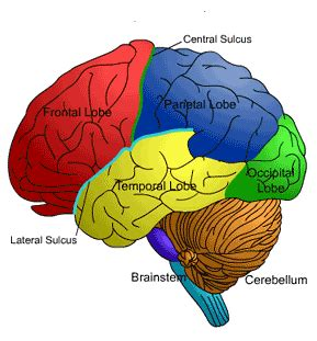 brain diagram lobes scientists show how bigger brains could help us see better