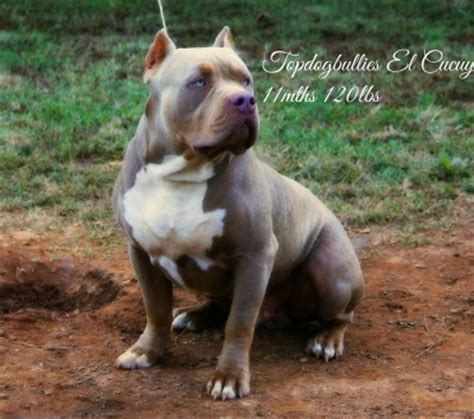 purple tri color pitbulls pin chagne purple tri color pitbull pictures on