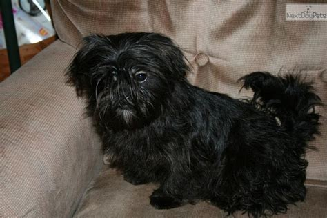 affenpinscher puppies for sale shih tzu breeders show breeds picture