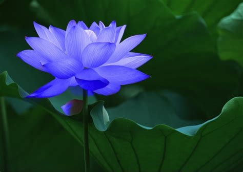 what does the lotus flower to you photos