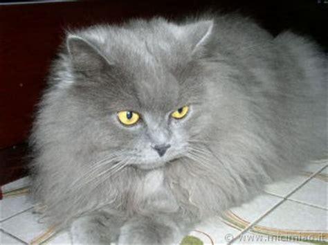 gatti persiani grigi marilyn mici miao il gatto foto di gatti e storie