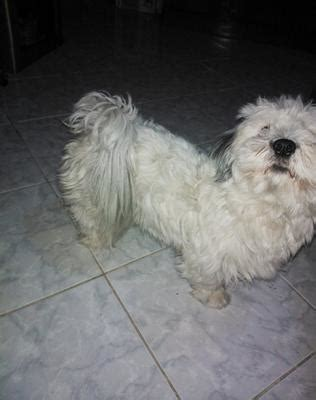 havanese barking problem i can t decide whether my is a coton de tulear or a havanese