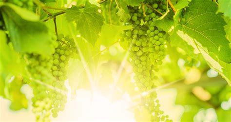 tuin september druiven tuin september kopie kopie png uuldriks hoveniers