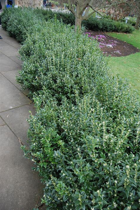 Hedge Planter Bag Small sarcococca confusa small white flowers ground level and evergreen