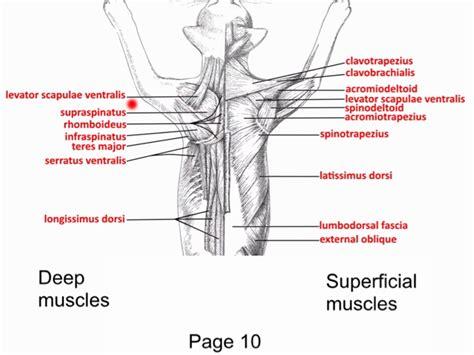 cat neck muscles diagram cat muscles at ursinus college studyblue