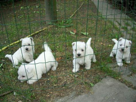 west highland white terrier alimentazione west highland white terrier premiumdb foto 88 272477