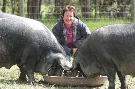 big black breeds the large black pig