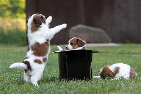 puppy fear stage kooikerhondjes justadogg