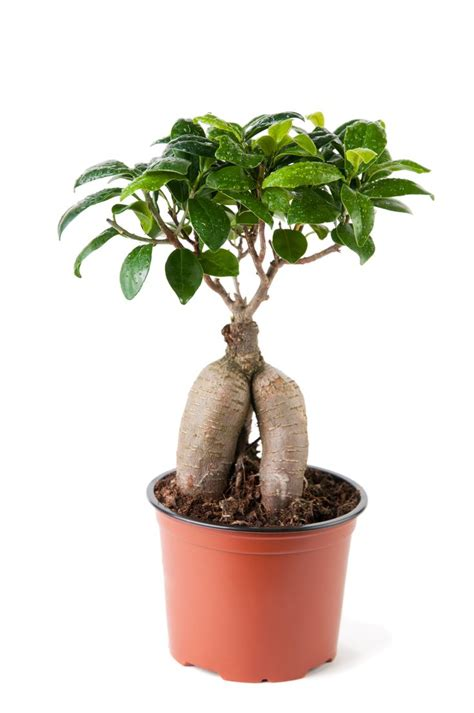 best grow light for bonsai 17 best images about bonsai trees on pinterest trees