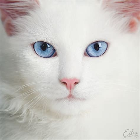 Are Cats With Blue Blind azul cat eye gato macro image 285281 on favim