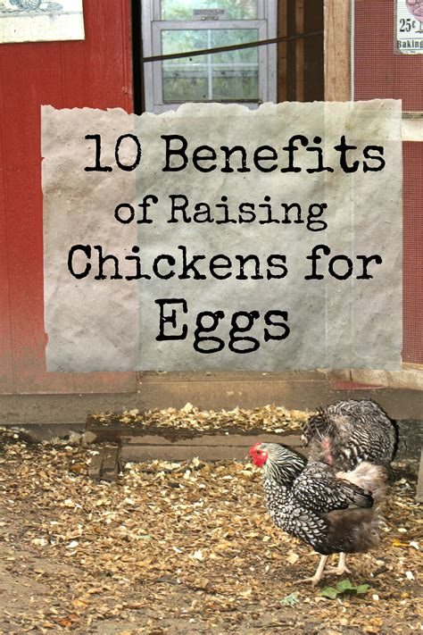 10 Benefits Of Raising Your Own Chickens For Eggs The Benefits Of Backyard Chickens