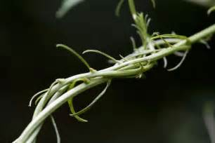 how do vines twist and turn a moment of science