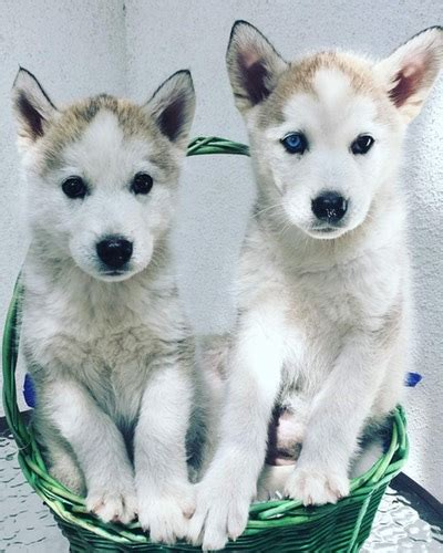 how to potty a husky puppy husky puppy potty advice ara canine rescue inc siberian husky rescue and