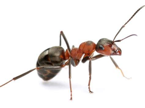 formiche in casa cosa fare invasione di formiche in casa cosa fare senza perdere la