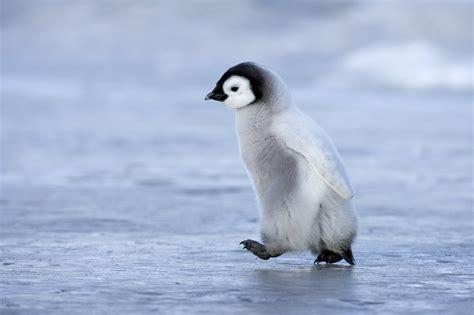 Top Pingun penguin more photos
