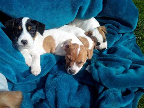 parson puppies for sale parson terrier puppies for sale dogs puppies pets