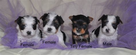 information on teacup yorkies parti yorkies yorkie puppies parti yorkie puppy