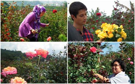 Bibit Bunga Matahari Di Bandung wisata petik bunga mawar gumur spots
