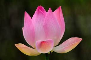 National Flower Lotus Lotus National Flower Wallpapers9