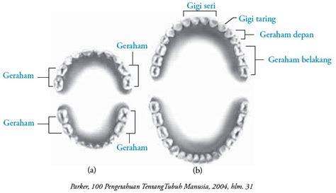 struktur dan fungsi gigi pada manusia