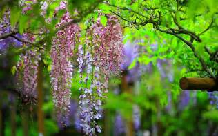 sun shines wisteria flowers wallpapers