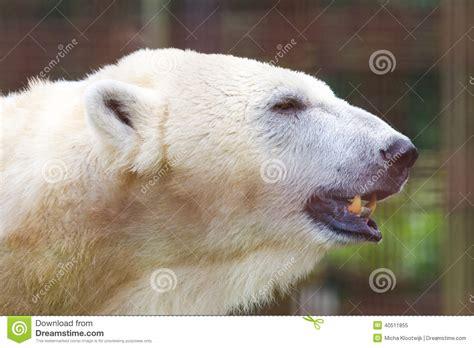 up of a polarbear stock image image of seabear 40511855
