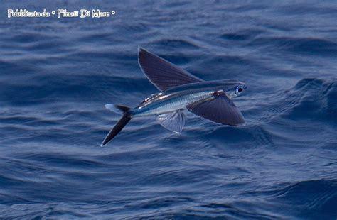 pesci volanti exocoetidae pesci volanti flying fish pesce rondine