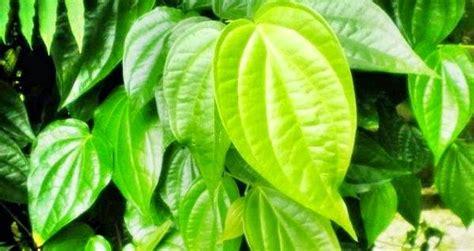 Obat Mata Bintitan Daun Sirih 20 manfaat daun sirih sebagai obat penyakit tradisional