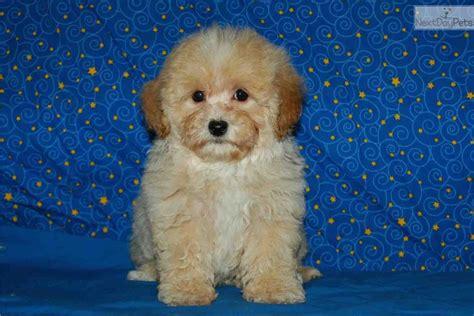 maltipoo puppies for sale in mississippi malti poo maltipoo puppy for sale near southwest ms mississippi 59cf970f 7f31