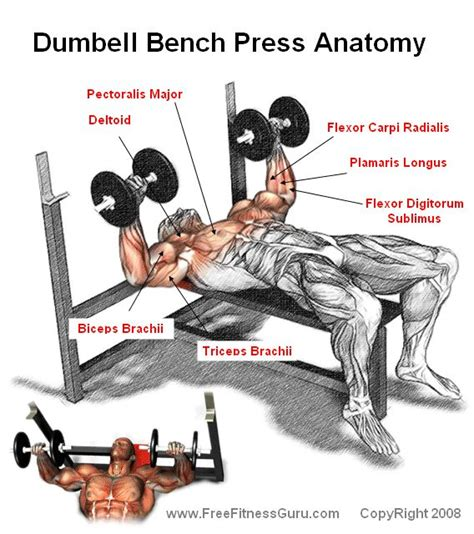 what does a bench press work working out the dumbell bench press anatomy