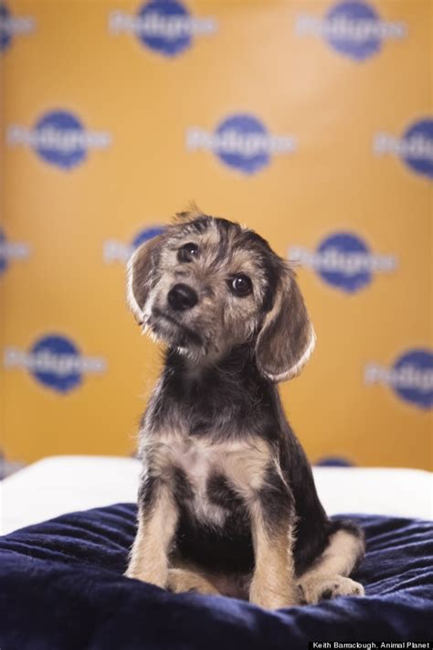 puppy bowl mvp vote 17 best images about animalistic on cats pigs and chris christie
