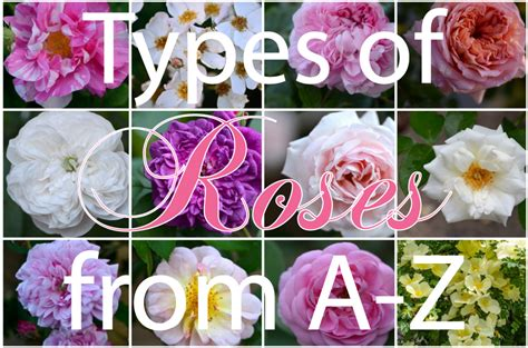 types of roses hedgerow rose images frompo