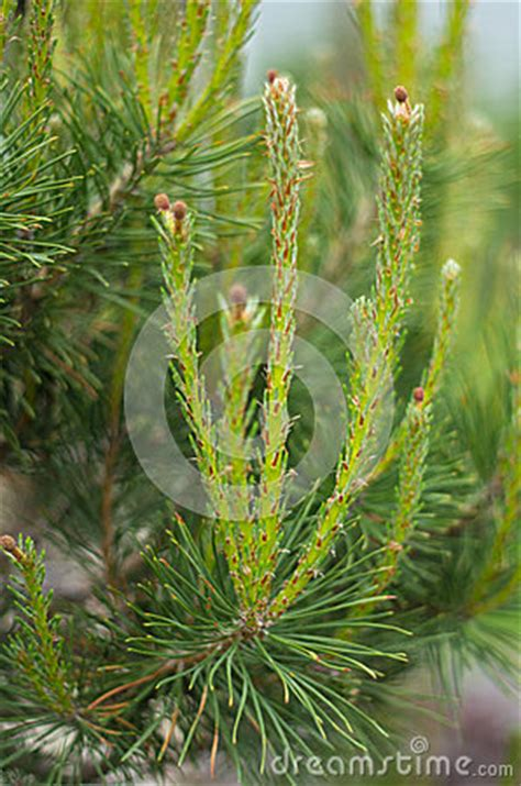 tree branch end new pine growth stock photos image 31478023
