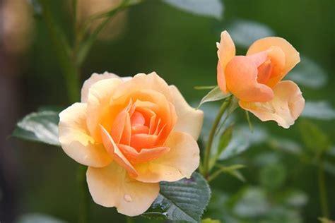 wallpaper bunga peach bunga mawar gambar gambar gratis di pixabay