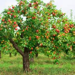 Flowering Pomegranate Shrub - apple tree with fruit harvest to table