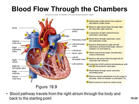 blood flow through the diagram step by step chapter 19 lecture animation outline the circulatory