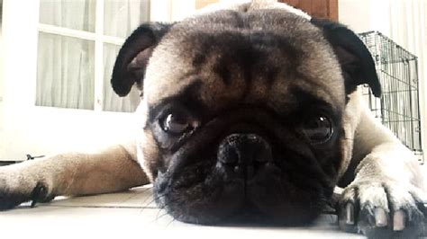 odie the pug 20 animals who are a worse s day than you cuteness