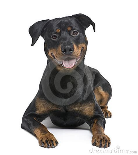 rottweiler 8 months rottweiler 8 months royalty free stock photos image 7510228