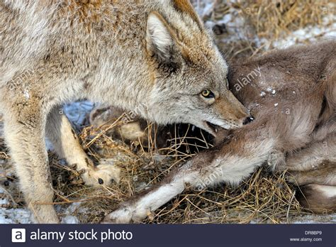 shep food a coyote with a baby bighorn sheep that he has just killed for food stock photo
