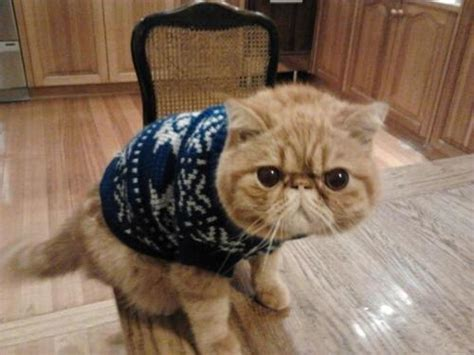 Sweater Cat 2 pictures of animals wearing sweaters lazer