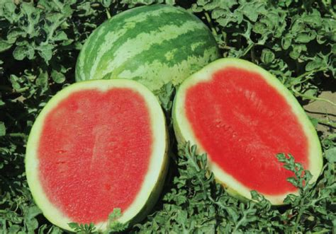 Semangka Tanpa Biji Grand 4 watermelon seeds farmer