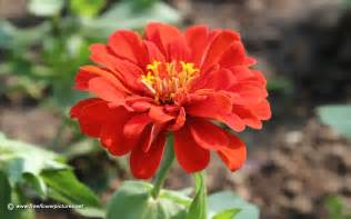 zinnia flower zinnia pictures zinnia flower pictures