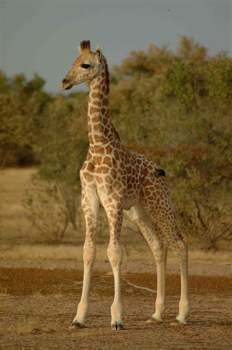 Giraffe Hat Meme - giraffe hat meme 100 images amazing giraffe hat meme