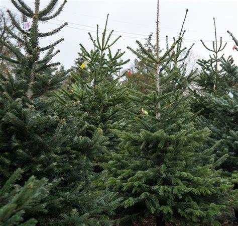 santa fir christmas tree farm guildford surrey sussex